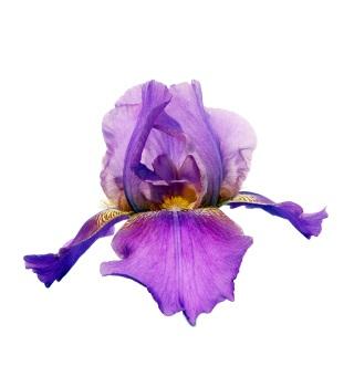 Parfum iris